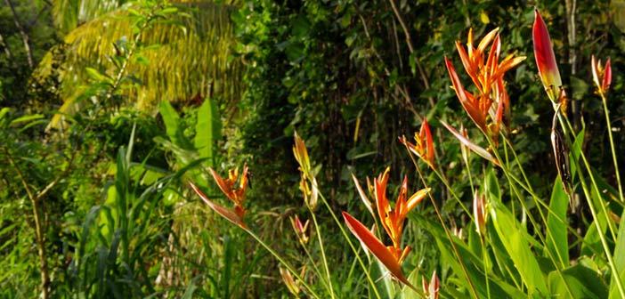 Fleur tropicale dans le Parc National de Guadeloupe