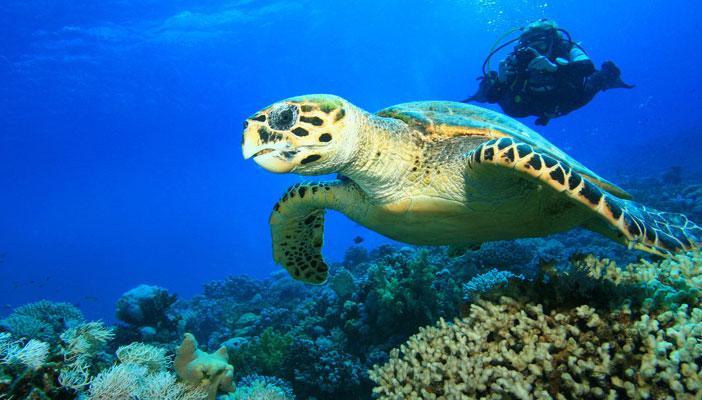 plongeur-tortue