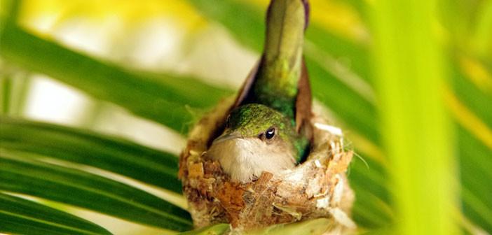 Colibri en Guadeloupe dans son nid