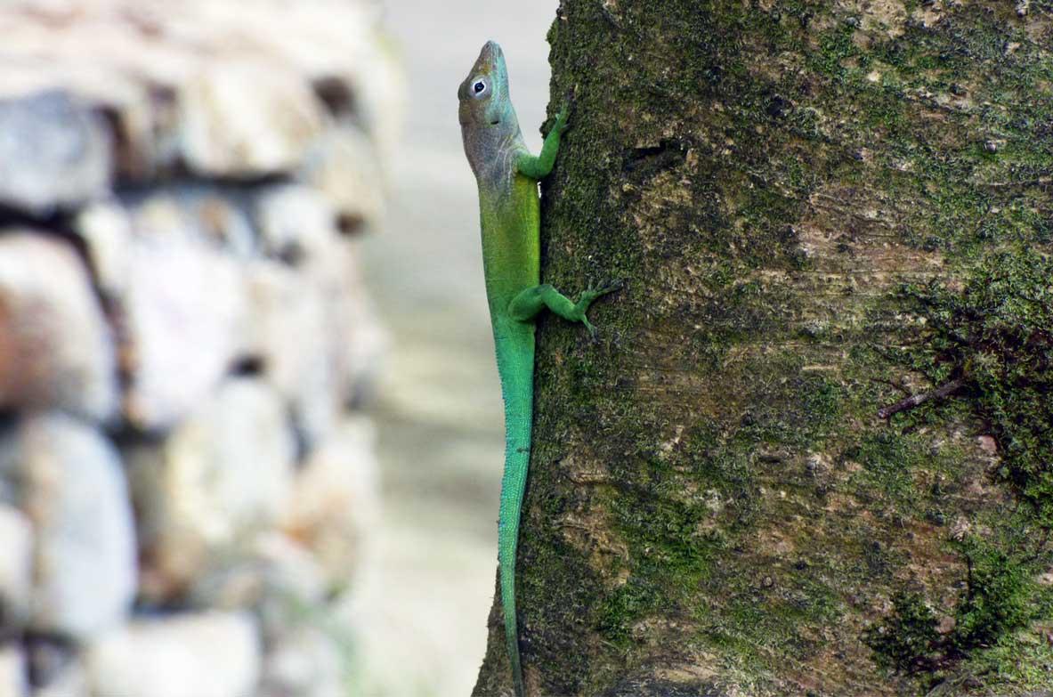 anoli-arbre-antilles