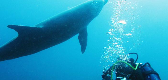 dauphin-plongeur-gaudeloupe