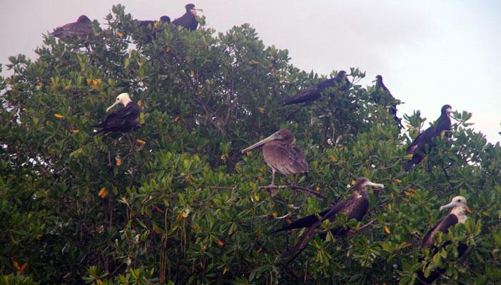 fregate-pelican-mangrove