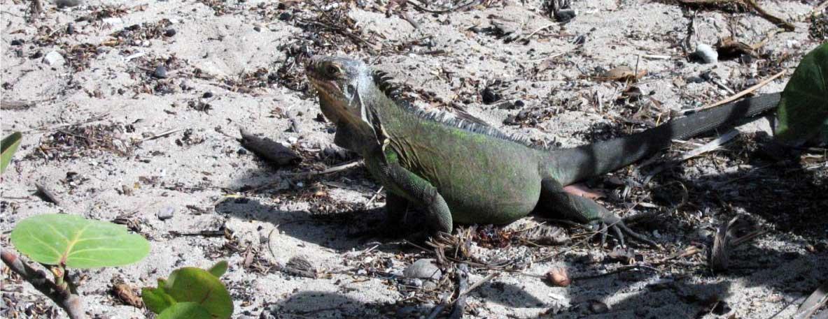 iguane-antilles