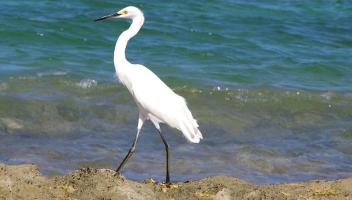 oiseau-bord-de-mer-saint-francois