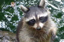 raton-laveur-racoon-guadeloupe